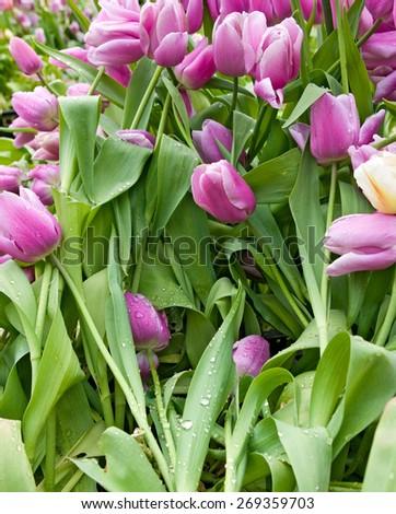 image of beautiful flowers tulips in the garden - stock photo