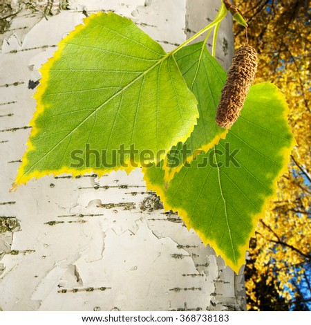 image of birch tree in forest close-up - stock photo