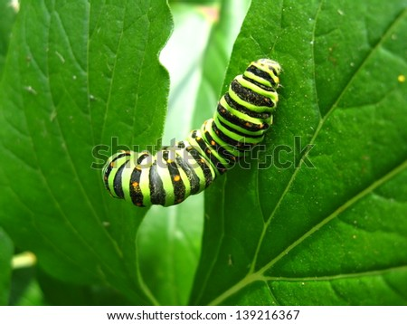 image of caterpillar of the butterfly machaon on the leaf - stock photo