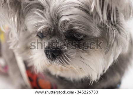 Image of chihuahua breed dog with black and white hair for pet background - stock photo