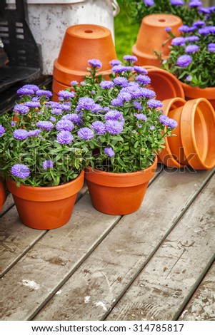 Image of clay flower pots with purple asters.  - stock photo
