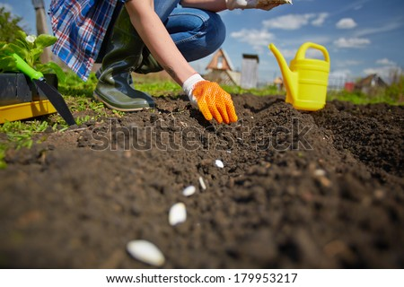 Image of female farmer sowing seed of squash in the garden - stock photo