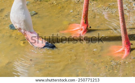 image of flamingo finding food in the water. - stock photo