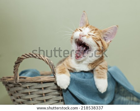 Image of ginger kitten with a big yawn.  - stock photo