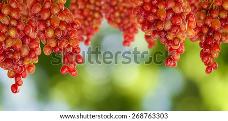 image of grapes on a green background closeup - stock photo