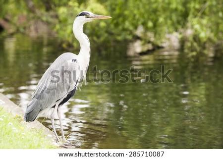 Image of Grey heron Ardea cinerea near lake in London park in summer. Selective focus - stock photo