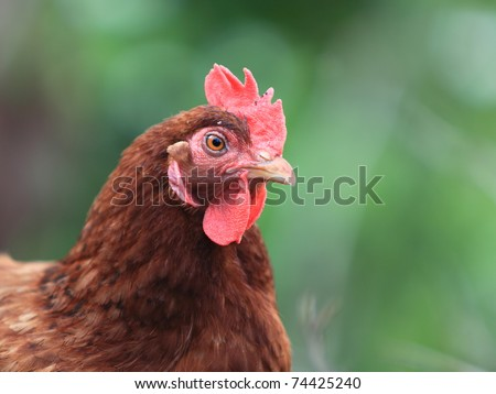 Image of head of hen on a natural background. - stock photo