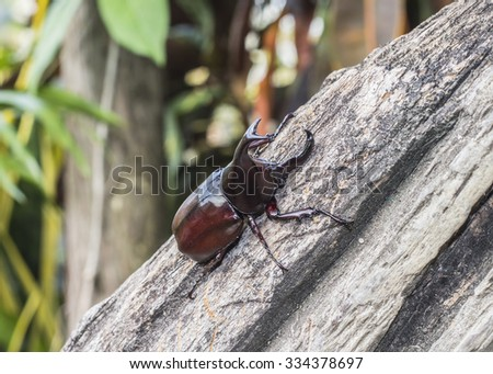 Image of  Male Rhinoceros beetle on wooden with nature background found in Thailand - stock photo