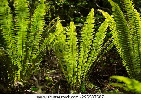 image of New Zealand silver fern - stock photo