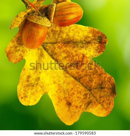 image of oak leaf with acorns on a green background - stock photo