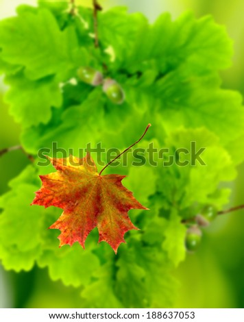image of oak leaves in a city garden - stock photo