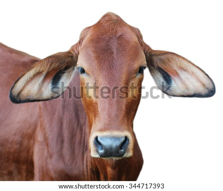 Image of red cow isolated on white background. - stock photo