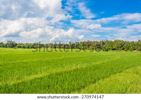 image of rice field and clear blue sky for background usage . - stock photo