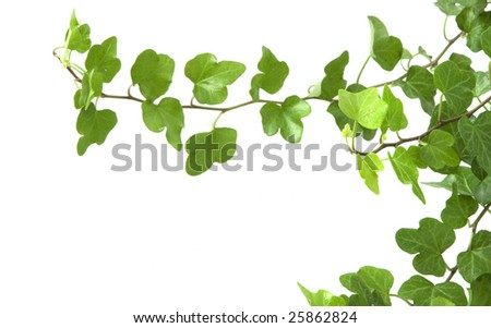 Image of the branch is ivy on a white background - stock photo