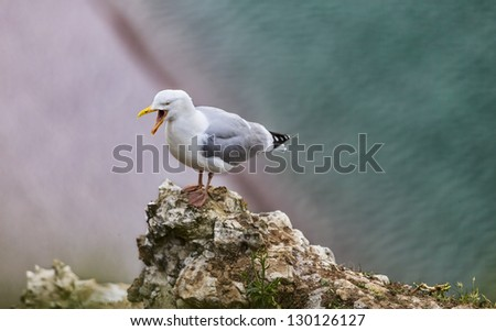 Image of The European Herring Gull (Larus argentatus) screaming on the top of the Etretat cliff in Upper Normandy in Northern France. - stock photo