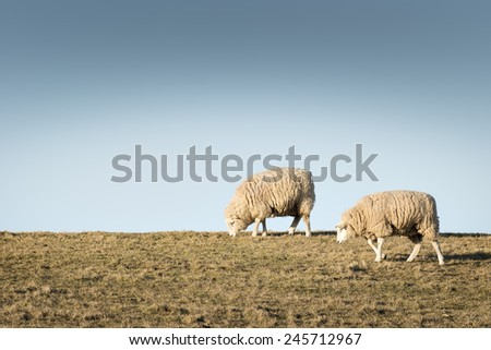 Image of two sheep on a meadow - stock photo