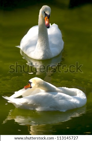 image of two swans on the  city lake - stock photo
