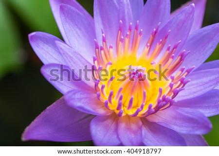 image of water lily or a lotus flower on the nature water - stock photo