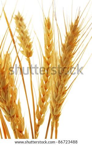 Image of wheat isolated over white background - stock photo