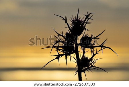Image of wild thistle with color effect at sunrise - stock photo