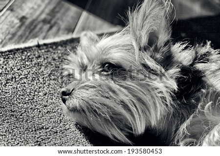 image of yorkshire portrait, black and white - stock photo