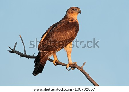 Immature African hawk eagle (Aquila spilogaster) perched on a branch, South Africa - stock photo