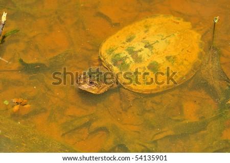 immature alligator snapping turtle - stock photo