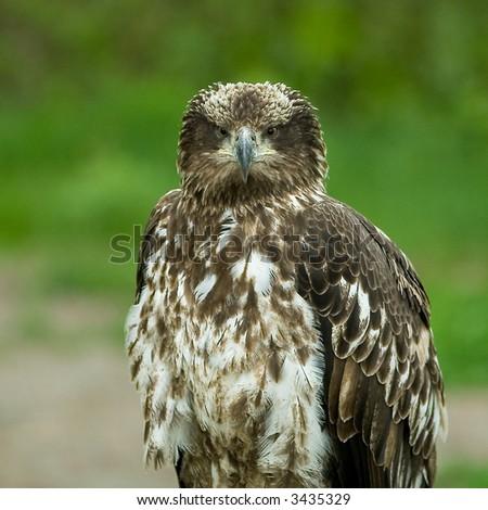 Immature Bald Eagle - stock photo