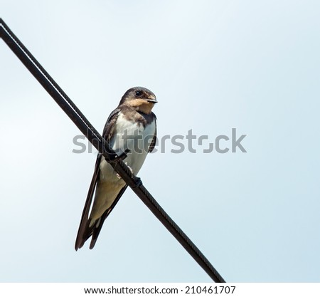 Immature Barn Swallow on wire - stock photo