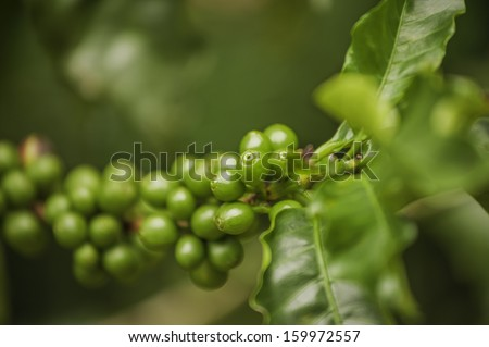 Immature green coffee on plants growing in Costa Rica, - stock photo