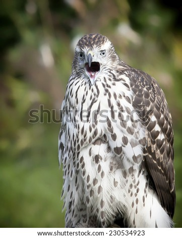 Immature, juvenile northern goshawk close up with open beak. - stock photo
