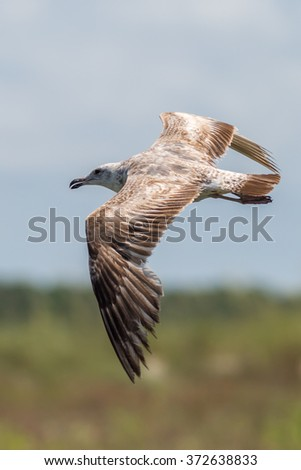 Immature Lesser Black Backed Gull in Flight - stock photo