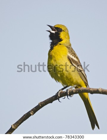 Immature male orchard oriole singing in a tree - stock photo