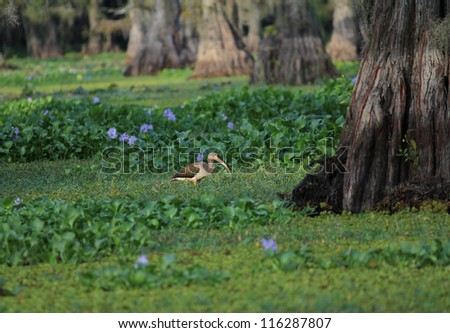 Immature White Ibis (Eudocimus albus)   wading through water hyacinth (Eichornia crassipes) in swampy cypress forest of Caddo Lake in East Texas near Louisiana border. - stock photo