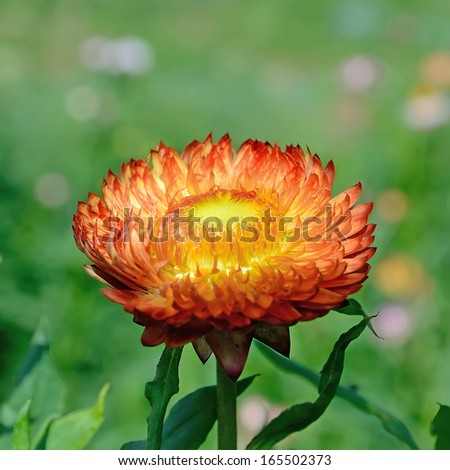 Immortelle flower on a green background - stock photo