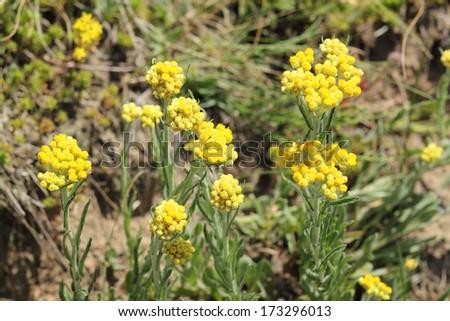 Immortelle - Helichrysum arenarium is also known as dwarf everlast - stock photo