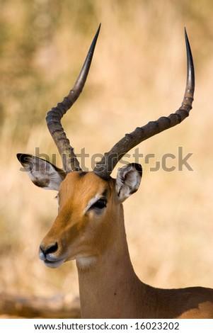 Impala (Aepyceros melampus) - stock photo