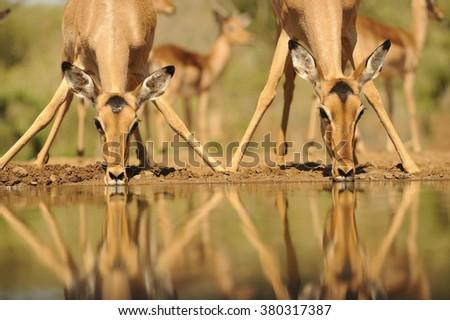 Impala (aepyceros melampus) reflected in waterhole while drinking. Zululand, South Africa - stock photo