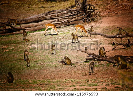 impala and baboon in luangwa national park zambia - stock photo