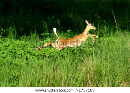 impala antelope - stock photo