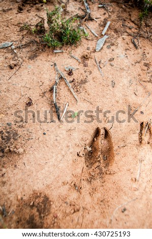Impala antelope animal tracks imprinted in the mud on the South African bush - stock photo
