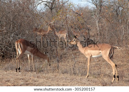 Impala antelope grazing in the early morning in the Kruger National Park - stock photo