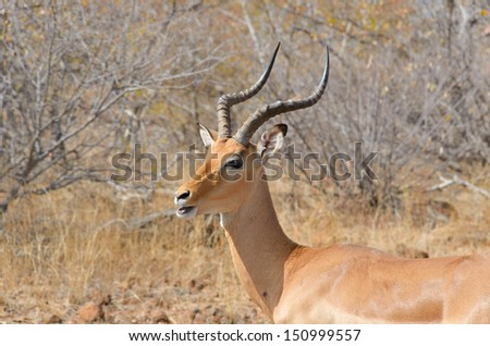 Impala antelope in Kruger National Park, animals of South Africa  - stock photo