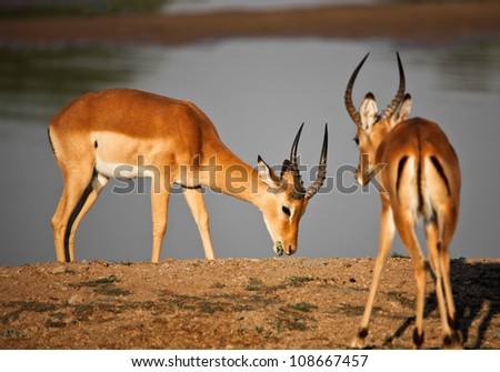impala in luangwa national park zambia - stock photo