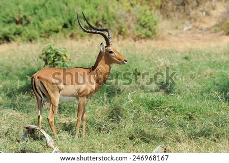 Impala in the National Reserve of Africa, Kenya - stock photo