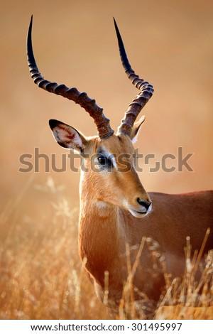 Impala male (Aepyceros melampus) portrait close-up - Kruger National park (South Africa) - stock photo