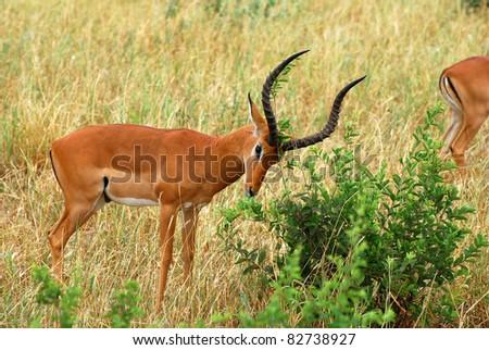 Impala marking Territory - stock photo