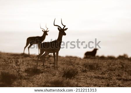 Impala ram (antelope) in Africa - stock photo