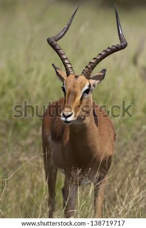 Impala - Rooibok - stock photo