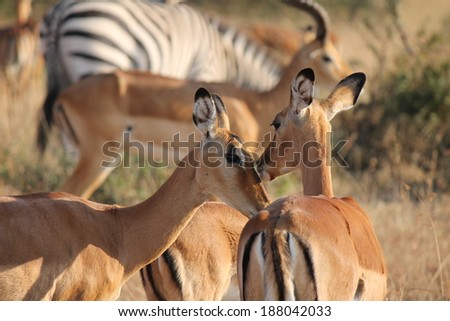 Impala - Scientific name: Aepyceros melampus. Two individuals licking each others face which appears like kissing. Maasai Mara National Reserve, Kenya, East Africa. - stock photo
